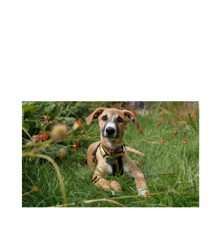 dog rescue rehoming charity dogs trust
